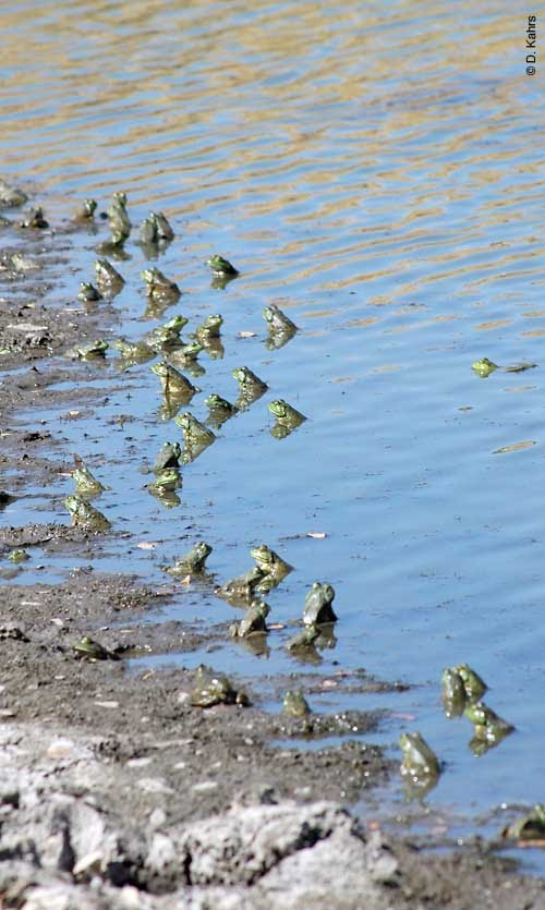 Backyard ponds and invasive species frog conservation for Az game and fish phone number